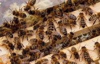 Blick in einen Bienenstand