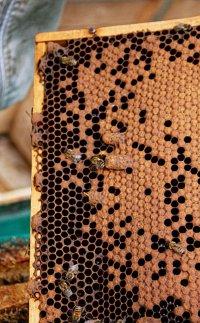 Ein Bienenvolk versucht eine Neue Königin zu ziehen aber da ein neue Königin aus der Toleranzbelegstelle Gehlberg eingestzt werden soll müssen die Zellen weichen
